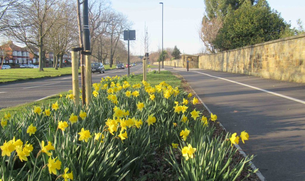 Picture of Daffodils by the Broadway to Brunton Cycle Lane